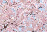 00155 Pink Blossoms Wall Mural 8-part