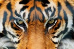 00608 Tiger Giant Art