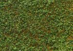 00979 Ivy Wall