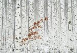5104-4V-1 White Birch Forest