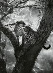 5114-2P-1 Leopard on Tree