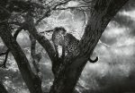 5114-4V-1 Leopard on Tree