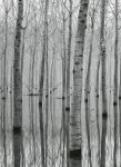 5122-2P-1 Birch Forest in the Water