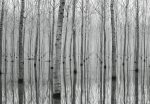 5122-4V-1 Birch Forest in the Water